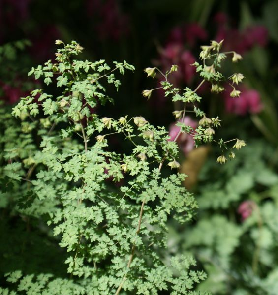 Thalictrum isopyroides (Wiesenraute)