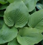 Hosta hybr. Sum and Substance (Funkie)